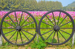 Cartwheel and Cosmos colorful flower in the field. Stock Photos