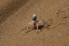 cartwheeling złoty pająk Zdjęcia Royalty Free