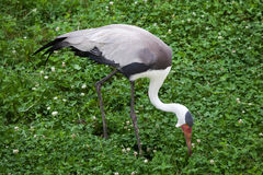 Carunculatus de Bugeranus do guindaste de Wattled Fotografia de Stock