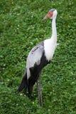 Carunculatus di Bugeranus della gru di Wattled fotografie stock
