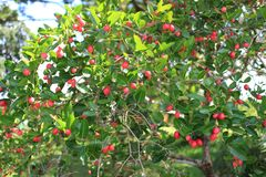 Carunda berry Stock Images