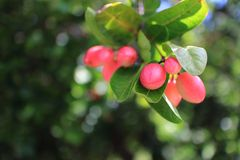 Carunda berry Stock Photo