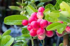 Carunda eller Karonda Fruite royaltyfri bild