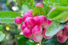 Carunda eller Karonda Fruite Fotografering för Bildbyråer