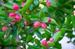 Carunda. Fruit balls are beautiful color with medicinal properties Stock Photos