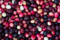 Carunda, fruite de Karonda Images libres de droits