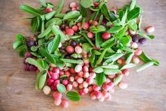 Carunda, Karonda, carandas της Carissa, Apocynaceae, κόκκινο καρύδι σπόρου φρούτων Στοκ Φωτογραφίες