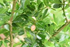 Carunda or Karonda,Close-up beautiful karonda carissa carandas red seeds with green leaves sway in a warm spring breeze at a tropi. Cal botanical garden royalty free stock photos