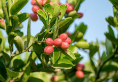 Carunda,Karonda fruit cluster green leaf. On tree Royalty Free Stock Photo