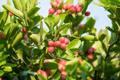 Carunda,Karonda fruit cluster green leaf. On tree Stock Photos