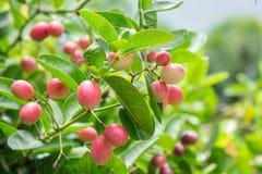 Carunda or Karonda fruit on tree organic garden royalty free stock photo