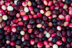 Carunda Karonda fruite Royaltyfria Bilder
