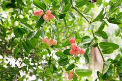 Carunda or Karonda fruits, the red fruit and green leaf Royalty Free Stock Photography