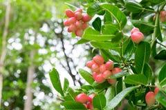 Carunda or Karonda fruits, the red fruit and green leaf Stock Photos