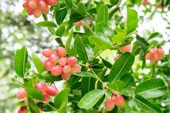 Carunda or Karonda fruits, the red fruit and green leaf Stock Photo