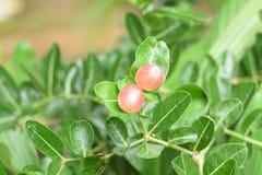 Carunda o Karonda, semillas rojas del karonda del primer de los carandas hermosos del carissa con las hojas verdes se sacude en u fotografía de archivo