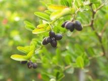 Carunda o Karonda semina variopinto rosa o rosso maturo dall'albero dal villaggio locale in Tailandia immagine stock