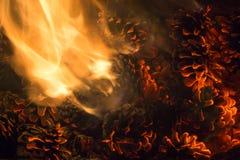 Carvões brilhantes dos cones ardentes do pinho com chama imagem de stock