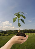 Carvalho-árvore Imagens de Stock Royalty Free
