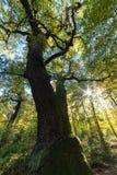 Carvalho antigo do descornado na floresta de Schwanheim Imagem de Stock Royalty Free