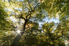 Carvalho antigo do descornado na floresta de Schwanheim Fotografia de Stock
