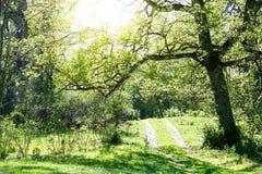 Carvalho bonito grande que pendura sobre uma estrada de floresta pequena imagem de stock