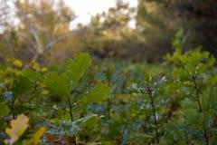carvalho bosque Foto de Stock Royalty Free
