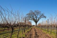 Carvalho de Califórnia no inverno no vinhedo de Califórnia perto de Santa Barbara California EUA imagens de stock royalty free