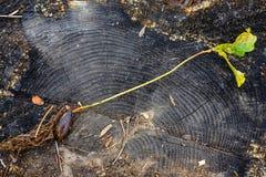Carvalho do rebento no fundo de um grande coto de árvore Imagem de Stock