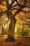 Carvalho em um parque do outono Imagem de Stock