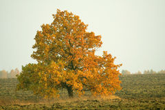 Carvalho em uma terra arável Fotografia de Stock Royalty Free