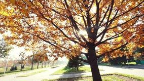 Carvalho grande do outono no parque de Almaty filme