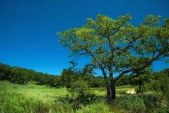 Carvalho grande no prado Fotografia de Stock