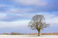 Carvalho na manhã de um inverno Foto de Stock