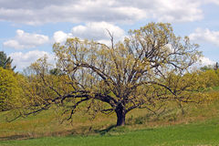 Carvalho no Quercus da mola Foto de Stock