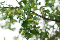 Carvalho-árvore Imagem de Stock Royalty Free