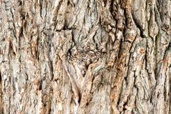 Carvalho - textura da casca foto de stock