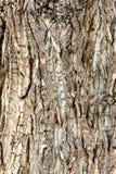 Carvalho - textura da casca fotografia de stock royalty free