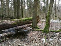 Carvalho velho de Brokoen na floresta do inverno Imagem de Stock