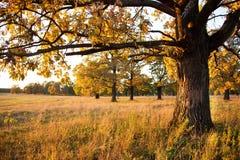 Carvalho velho grande em um bosque do carvalho no outono fotos de stock