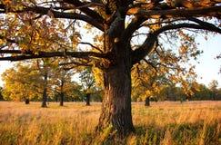 Carvalho velho grande em um bosque do carvalho no outono foto de stock