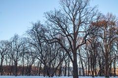 Carvalho velho grande no parque do inverno Imagem de Stock