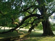Carvalho velho no parque, 2 Carne sem gordura pesada longa dos ramos contra a terra Fotos de Stock Royalty Free