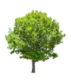 Carvalho verde isolado do verão imagens de stock