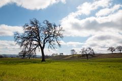 Carvalhos de Califórnia sob nuvens de cúmulo em Paso Robles Califórnia EUA Foto de Stock Royalty Free