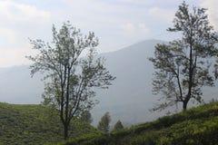 Carvalhos de prata entre a plantação de chá imagens de stock royalty free