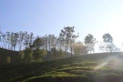 Carvalhos de prata entre a plantação de chá imagens de stock