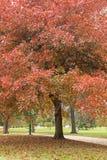 Carvalhos grandes no parque em jardins botânicos reais Fotografia de Stock Royalty Free