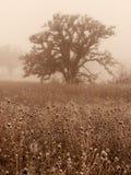 Carvalhos na névoa do inverno imagens de stock royalty free