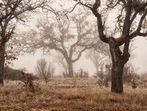 Carvalhos na névoa do inverno imagens de stock